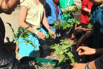 Workshop: Cultivate your own Saqba tomato