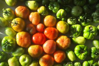 The Saqba tomato