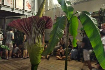 The Giant Corpse Flower Blooms in Venice